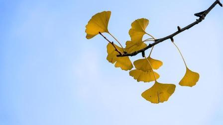 一萱摄影 深秋银杏叶的简单拍摄思路