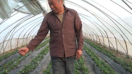 农村大棚草莓种植, 为何还要放蜜蜂? 老农一句话说出原因