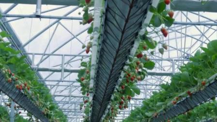 空中草莓系列、你见过的最完美温室大棚种植采摘草莓系列