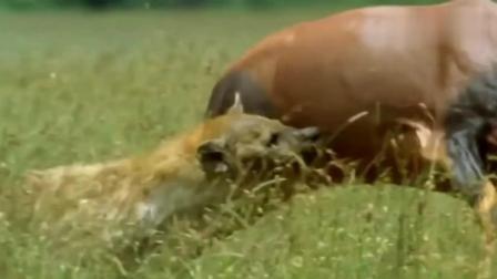 鬣狗受难记! 鬣狗破坏进食规矩, 遭母鬣狗王诛杀, 代价太悲惨!