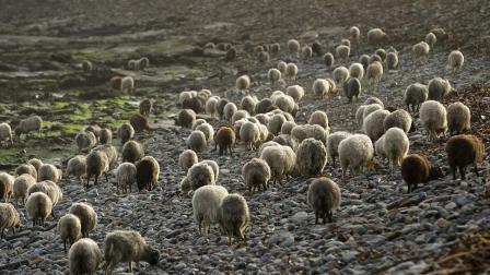 """全球最""""搞笑""""的岛屿, 引入3只羊变成25万只, 岛都被羊吃没了!"""
