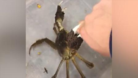 作死 调戏螃蟹反被调戏疼哭