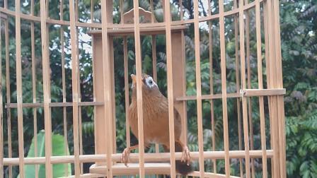 清晰的母画眉鸟叫声, 清脆响亮!