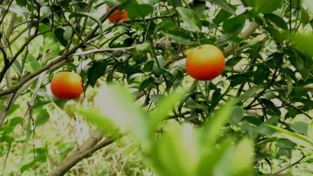 贵州山里藏着一大果园, 果子吃后容易上瘾