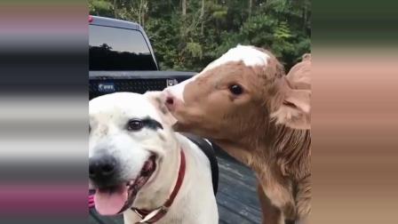 什么? 狗狗和奶牛也能做好朋友? 太有趣了, 搞笑