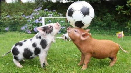 猪没感情吗? 看完这个短片, 惭愧还不如猪!