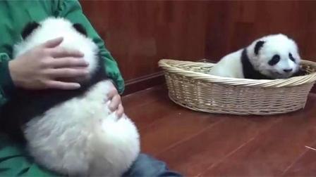 熊猫宝宝睡醒看见奶爸抱着其它熊, 气的心肝疼, 小样子真逗