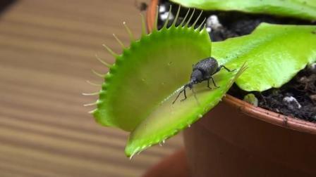 这只昆虫上一秒正在叶子上散步, 殊不知下一秒它的生命在这里终结
