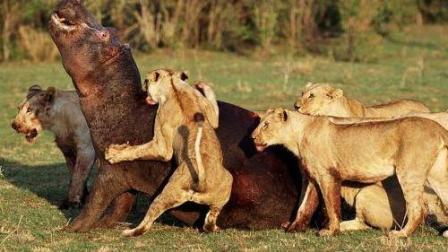动物世界惨烈大战, 狮子开战河马, 罕见生死肉搏场面!