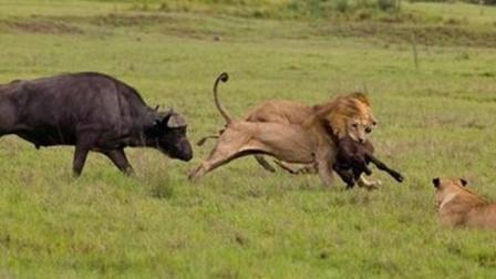 动物世界, 野牛大战狮子, 太凶狠了