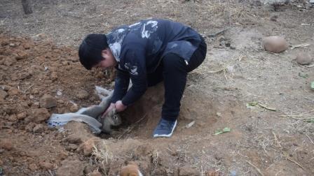 农村小伙在散养野兔场发现个洞穴, 进去一摸就掏出个大胖灰兔