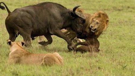 动物世界狮子大战野牛活活分食
