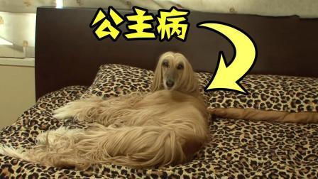 这只狗喜欢人类, 还一身的公主病, 该拿它怎么办?