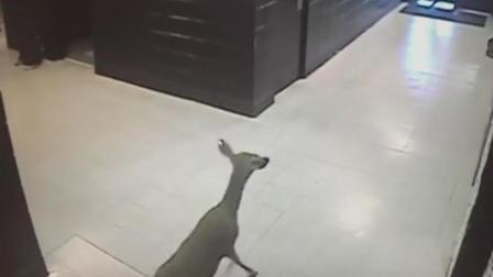 小鹿也要来上学 一校园迎来小鹿 活跃异常在走廊蹦蹦跳跳