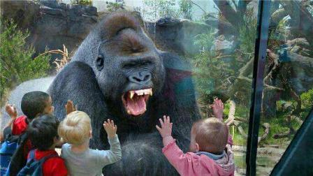 游客挑衅银背大猩猩, 下一秒肠子都悔青了, 镜头拍下全过程