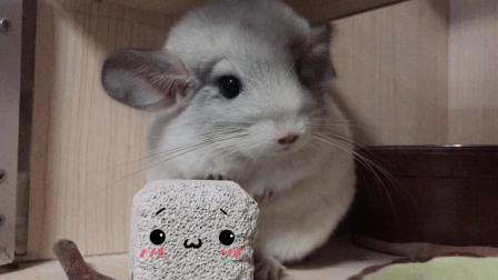 呆萌小龙猫一动不动像一个JPG图片, 吃起东西来乖乖的超级萌