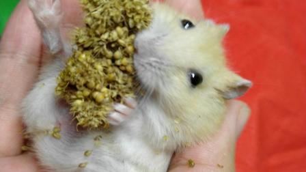 【仓鼠】布丁小时候都有一身具有欺性的奶黄毛高颜值