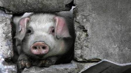 """还记得10年前汶川地震中""""猪坚强""""吗, 如今生活的怎么样了?"""