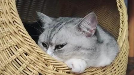 """布偶猫深夜挑衅斗殴, 被小猫咪一眼电""""死"""""""
