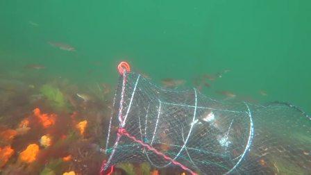 你见过水下实拍地笼捕鱼吗?