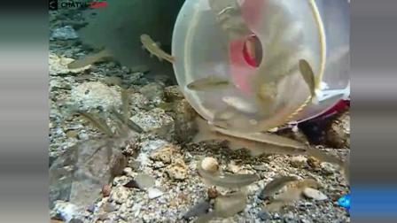 实拍水下塑料瓶地笼捕鱼过程, 可算看清楚小鱼是怎么进去的了