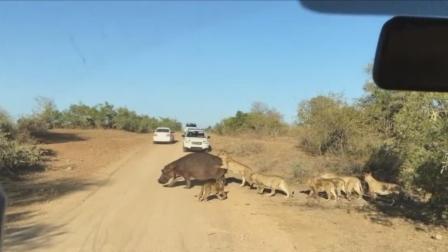 河马遭狮群围攻 发狂后展开反击
