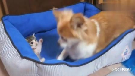 小猫跑到狗的窝里, 狗狗怎么赶小猫就是不走