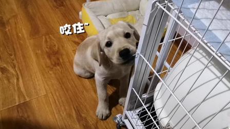 4个月的狗狗在家各种拆
