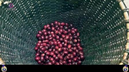 咖啡豆价格下跌, 云南三代咖农的中国咖啡梦!