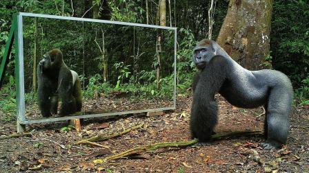 动物照镜子什么反应? 大猩猩: 你瞪我, 你再瞪我就打你!