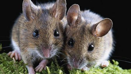 老外用油锅捕捉老鼠, 效果非常雷人, 老鼠第一次