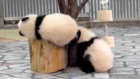 为了证明短腿族也能逆袭, 熊猫宝宝这样爬木, 好萌