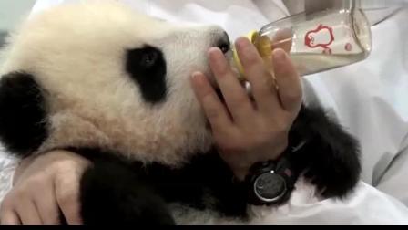 熊猫宝宝喝蜂蜜水: 轻点拍嗝, 别把熊家的耳朵震掉了