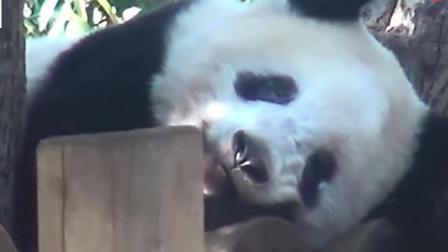 熊猫父女呆萌登场: 我是谁? 我在哪? 我在干什么?