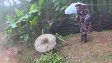 农村四哥: 王四老妈今天去挖这个中草药给二娘, 你们有人认识吗?