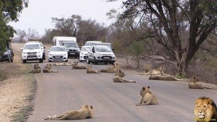 一群狮子挡在路上, 导致交通堵塞, 狮子: 别低估了霸道的力量