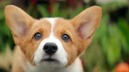 狗狗轮回投胎三次, 只为回到主人身边, 忠诚真的可以超越生命