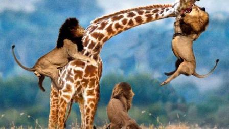 长颈鹿妈妈面对狮群的包夹, 竟踢倒自己的孩子? 独自逃跑?