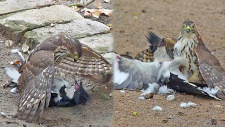 老鹰是怎么跟鸟打架的? 直接用嘴巴, 给对方拔毛!