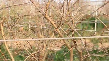 冬季石榴修剪技术 软籽石榴修剪视频 软籽石榴修剪方法