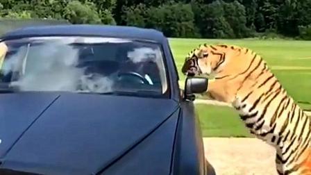 战斗民族的劳斯莱斯车主, 这真惹不起, 司机在车里瑟瑟发抖!