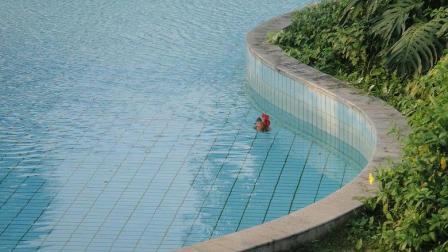 鹅和鸭子都会游泳, 那鸡会吗? 老外把鸡放进水里