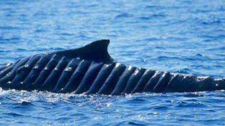 鲸鱼一头撞到航母螺旋桨后, 究竟还能活多久? 看完实在太揪心