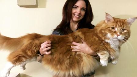 这只猫为什么能长这么大? 体形长达1米, 比普通狗狗还要大!