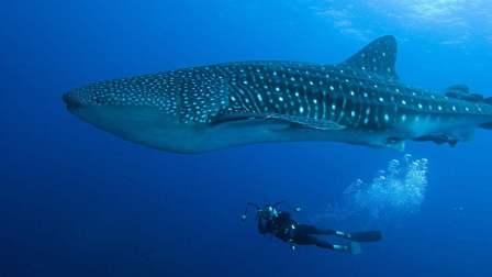 世界上体型最大的鱼! 这种鱼也可以长这么大? 够