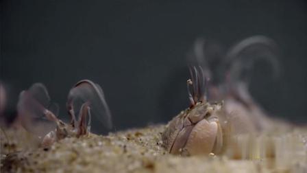 摩尔蟹历经风雨的洗礼才能生存下来! 小编敬佩, 一起来看看吧!