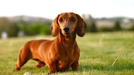 腊肠犬其貌不扬, 竟然是猎獾高手? 你知道你的宠物犬这么厉害吗!