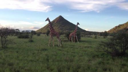 长颈鹿带着幼崽在闲逛, 狮子却在悄悄靠近, 还有活命的可能吗?