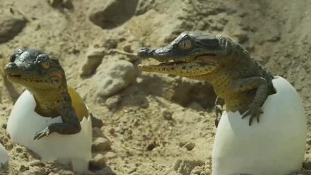 小鳄鱼破壳后怎么回到水里? 网友: 还有专车接送?