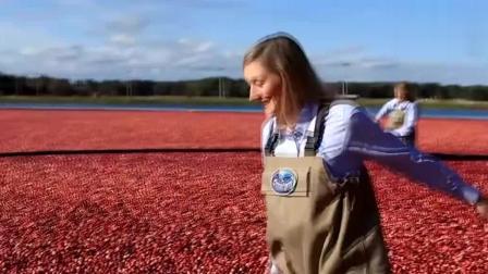 这确定是蔓越莓的采摘现场? 收获时竟用水收, 看着也太震撼了吧!